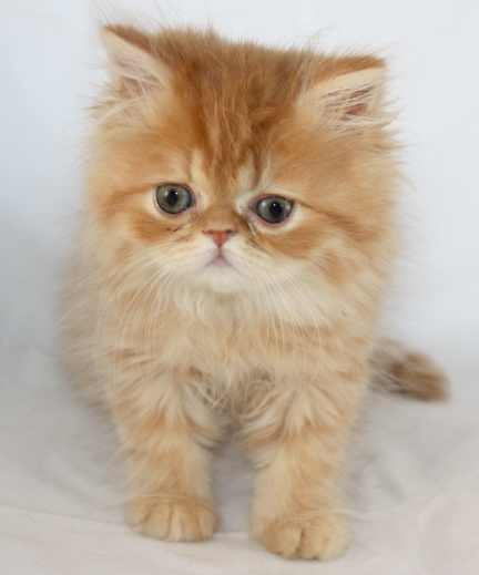 what is in cat urine